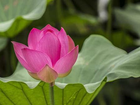 Lotus Flower in full bloom Stock Photo