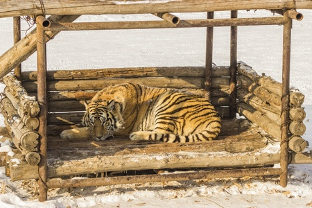 Siberian Tiger Sleeping in a Wooden Structure in Harbin China Stock Photo