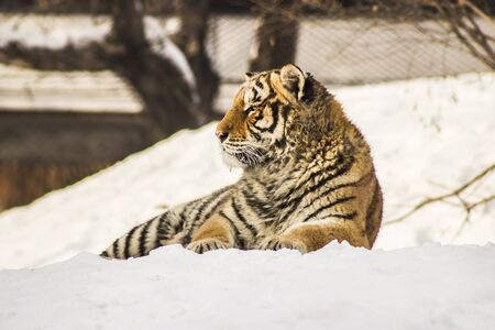 Siberian Tiger Resting on Snow at the Siberian Tiger Reserve in Harbin China Stock Photo