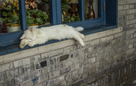 loveable: A White Cat Sleeping on a Windowsill in Beijing China