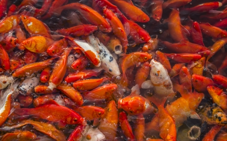 A koy fish feeding frenzy Stock Photo