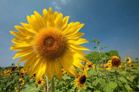 sunflowe at Jim Thompson Farm Stock Photo