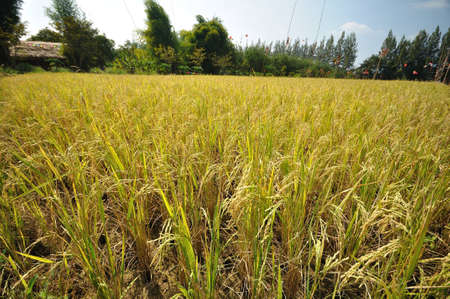 the rice in the field  Stock Photo