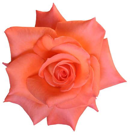 bloom rose On  white background  Stock Photo
