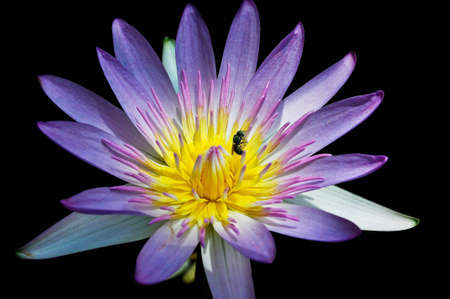 bee with blue lotus Pollen