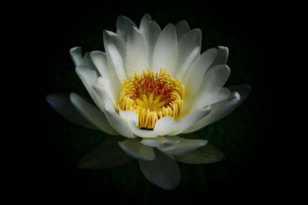 White Lotus  on a black background Stock Photo - 14064339