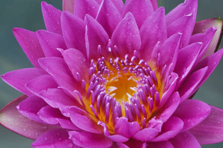 blue lotus flower and Pollen