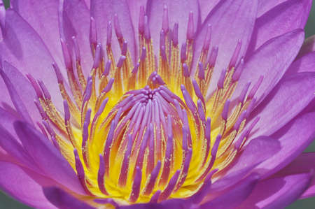 Water Lily Blue and pollen