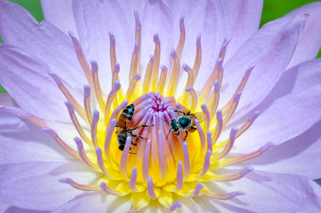 bees with blue lotus Pollen photo
