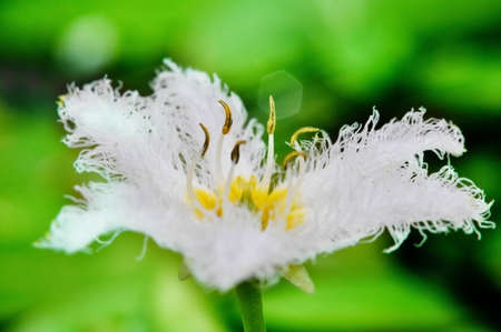 hydrophyte: White  water snowflake in the garden Stock Photo