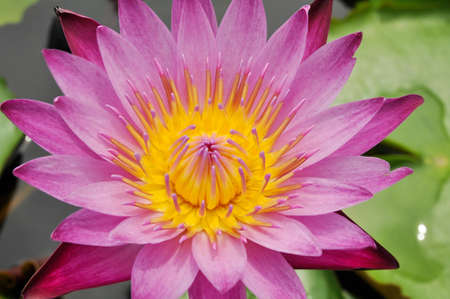 The blooming  blue lotus