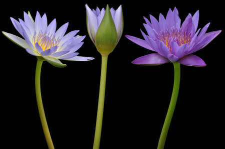 hydrophyte: Lotus flower on black background Stock Photo