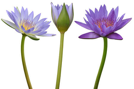 Lotus flower on white background photo