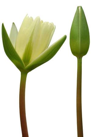 Lotus flower on white background photo