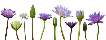 Fleur de lotus sur fond blanc Banque d'images