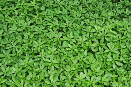 Green leaves of big shrubs
