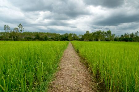 Rice field of Thailand in the rainy season