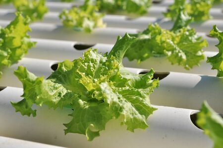 Hydroponics vegetable Farms in Thailand photo