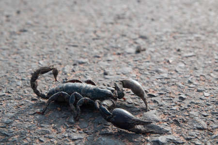 Big black scorpion in the middle of the street