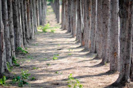 pine tree in jim thompson farm