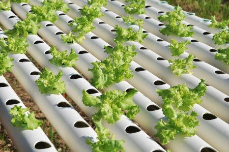 Hydroponics vegetable Farms in Thailand