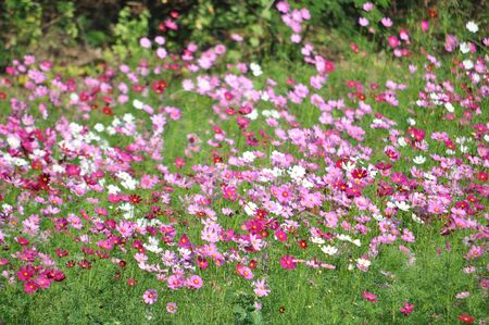 Cosmos flower in thai farm