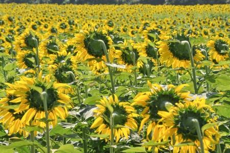 Sunflower field in thai farm Stock Photo