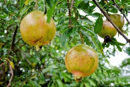 Pomegranate fruit trees in the garden Stock Photo - 18881528