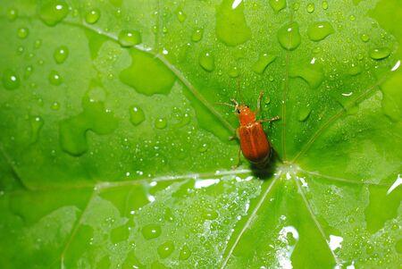 Orange ladybug on a leaf with dew Stock Photo