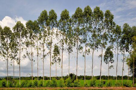 Eucalyptus fence beside a dirt road