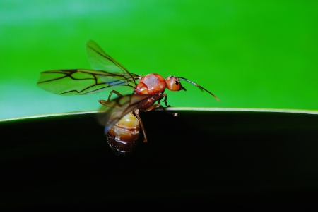 Queen ants are swarming green leaves Stock Photo
