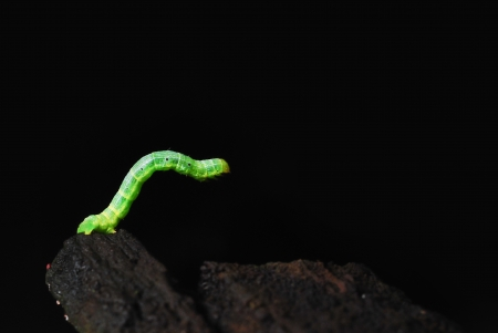 Green caterpillar on black background