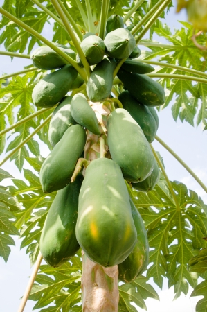 Papaya tree is tropical fruits photo