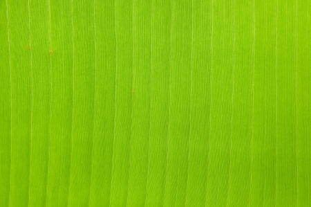 Green banana leaf background abstract Stock Photo