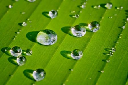 dew on green banana leaf in morning light