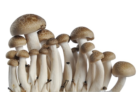 Brown beech mushrooms on white background