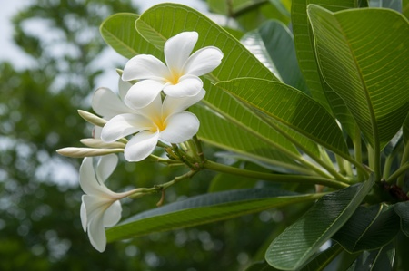 white frangipani flowers with leaves Stock Photo