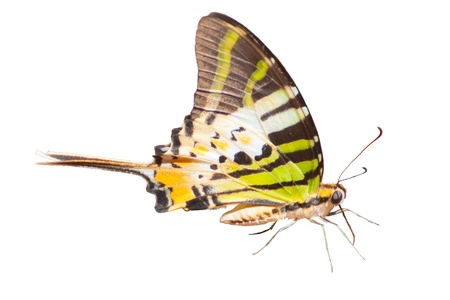 Fivebar Swordtail butterfly on White background