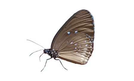 Common lndian Crow butterfly on White background