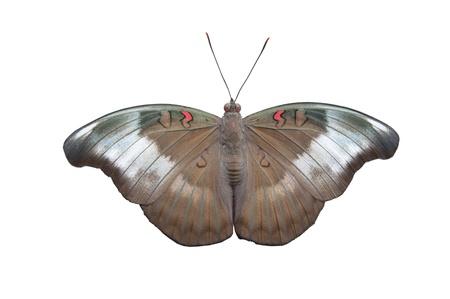 Redspot Duke butterfly on White background