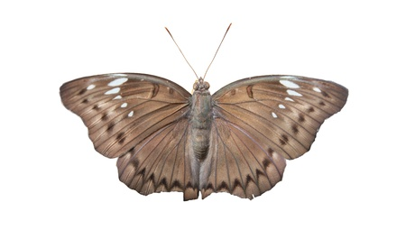 Malay Baron Butterfly on White background