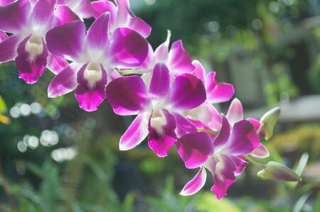 Bouquet dendrobium orchid in garden photo