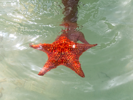 Caribbean starfish in the Cayman Islands at Starfish point