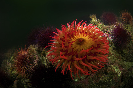 A sea anemone waiting on the ocean floor for prey.