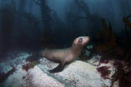 ocean floor: A California sea lion on the ocean floor Stock Photo