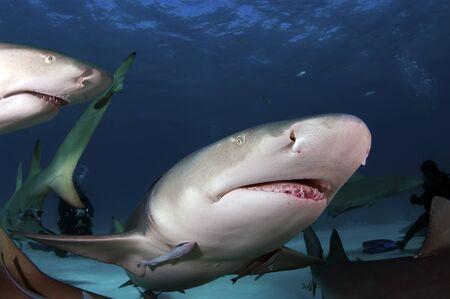 fruit eater: Lemon Shark