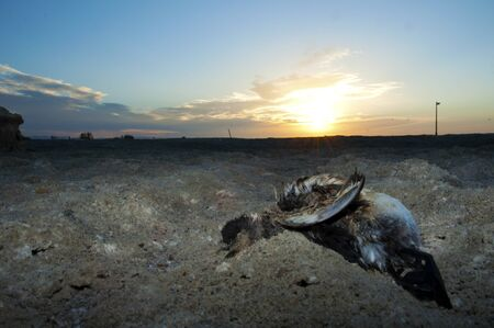 water fowl: A dead water fowl on the heavily polluted shores of the Salton Sea Stock Photo