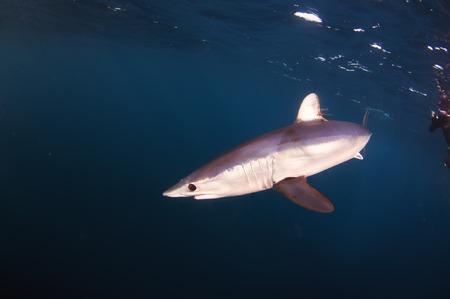 enviroment: Mako Shark Stock Photo