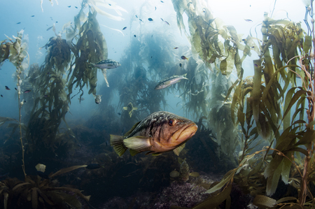 alga marina: Calico Bass en un bosque de algas