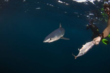free diving: A small mako shark inspects a hand out